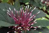 Fleurs de Martinique (Département d'outre-mer) - 196177695