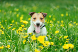 Happy pet dog sitting in spring green grass and yellow dandelion flowers