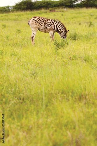 Zebra in the African bush