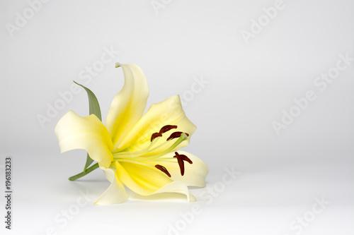 Fototapeta Beautiful yellow lily