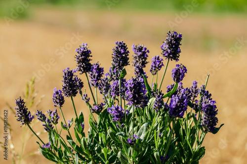 Fotobehang Lavendel Lavender flowers in closeup