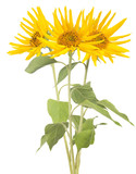 bunch of three sunflowers isolated on white