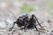 Bradiphorus dasiphus