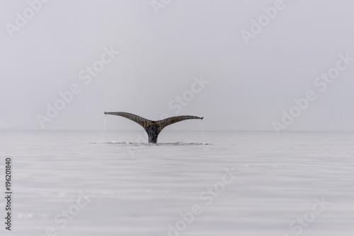 Humpback whale fluke in Antarctic sea