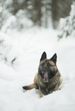 a funny red sheepdog sits and yawns in the winter snow forest during the day - 196207665