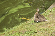 Sleeping duck on the river bank - 196212828