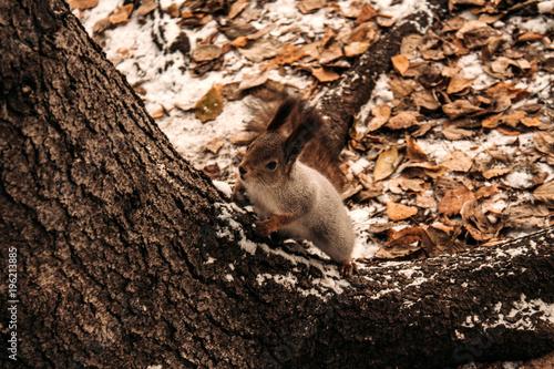 Plexiglas Kangoeroe Squirrel in the city