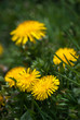 Wild Yellow Dandelions in Blossom - 196214612