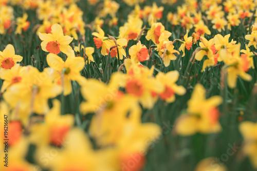 Tilt Shift Daffodils