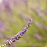 Blooming purple lavender - 196225892