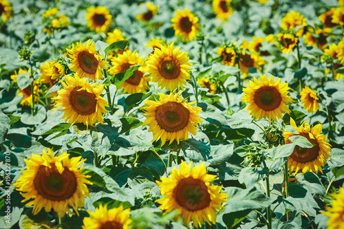 Tuinposter Natuur Sunflowers Field in Bulgaria