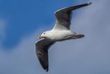 Great Black-backed Gull - 196228691