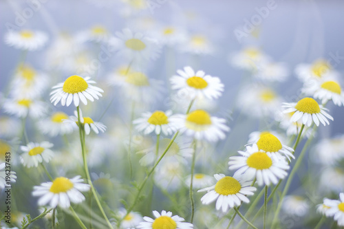 chamomile field close up, camomile macro photo, daisy flower meadow