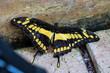 Königs-Schwalbenschwanz - Papilio thoas