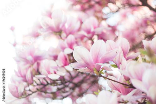 Fototapeta Blossoming magnolia tree. Selective focus
