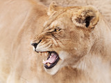 Anger of mighty lioness