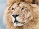 Broody majestic lion
