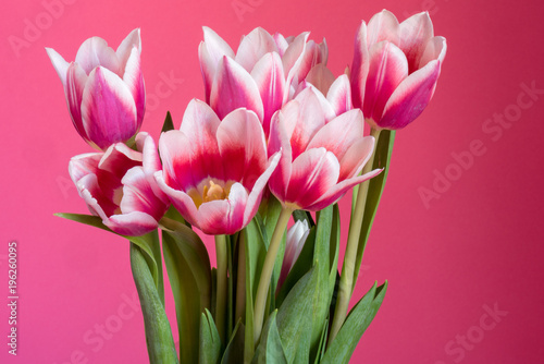 Bunch of pink and magenta tulips on a bright pink background. - 196260095