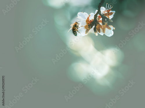 Fotobehang Bee Spring flowering, pollination by bees. Close-up, bright, toned photo, fruit blossoming tree branches. Honeybees collect nectar and pollen. Signs of spring.