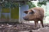 Pig in Rarotonga Cook Islands - 196270099