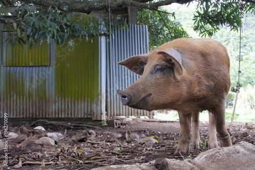 Pig in Rarotonga Cook Islands