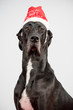 Serious Great Dane Wearing Christmas Hat
