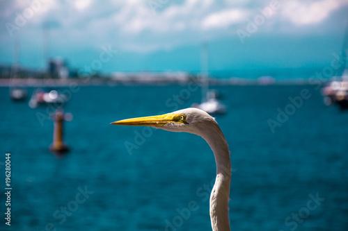 Plexiglas Rio de Janeiro White bird - heron - on a summer beach scenario in Rio de Janeiro, Brazil