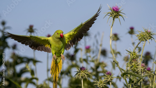 Fototapeta Isolated green parrot in the wild- Israel