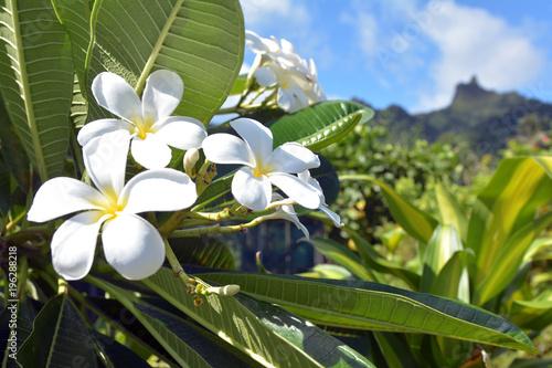 Aluminium Plumeria Plumeria flowers grows in Rarotonga Cook Islands