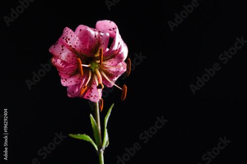 Fototapeta lily flower on black background