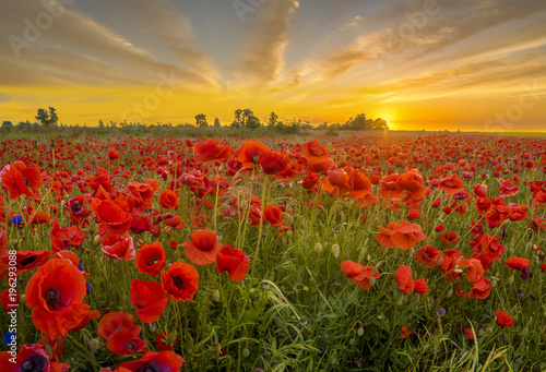 red wild poppies in the light of the rising sun