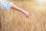 Woman hand touching barley in summer at sunset time - 196295449