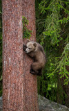 Bear cub on a tree in the forest. Summer. Finland. - 196296213