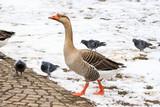 oca e piccioni sulla neve - 196308866