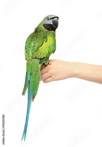 Fototapeta Green parakeet on a white background