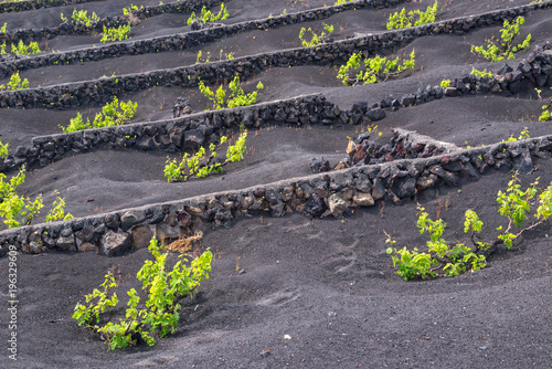 Foto op Canvas Wijngaard Famous vineyards of La Geria on volcanic soil in Lanzarote, Canary Islands, Spain
