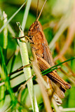 Macro of a brown grasshoper on a stalk of grass - 196334617