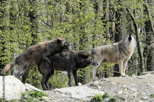 Fotobehang Wolf Timberwölfe (Canis lupus lycaon) , captive, Baden-Württemberg, Deutschland, Europa