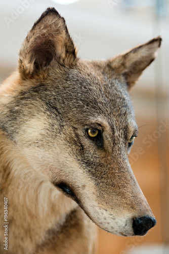 Aluminium Wolf Grey and Brown Wolf - Portrait
