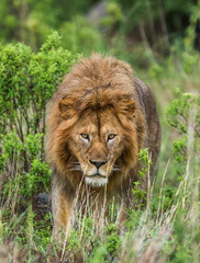 Portrait of the big male lion in the grass. Serengeti National Park. Tanzania. An excellent illustration.