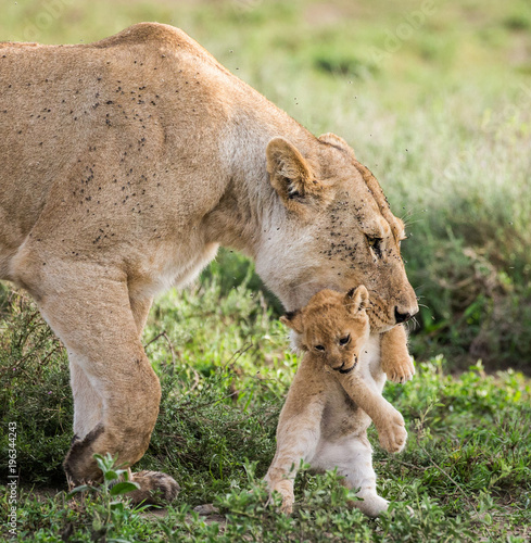 Aluminium Lion Lioness with cubs in the Serengeti National Park. Africa. Tanzania. Serengeti National Park.