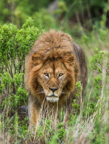 Canvas Lion Portrait of the big male lion in the grass. Serengeti National Park. Tanzania. An excellent illustration.