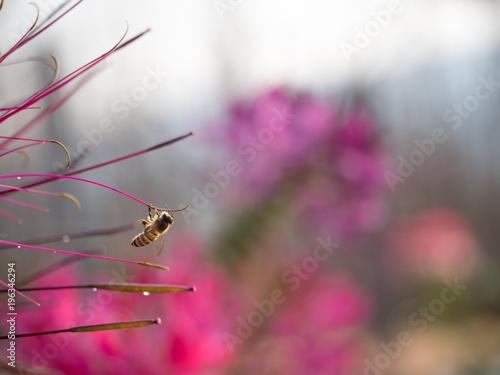 Fotobehang Bee closeup bee flying near flower