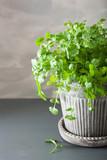 fresh cilantro herb in pot - 196347690