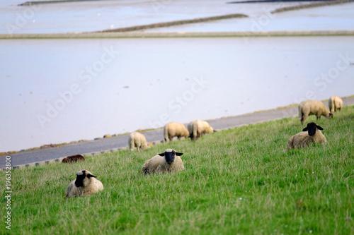 Fotobehang Noordzee Deichschafe in Ostfriesland