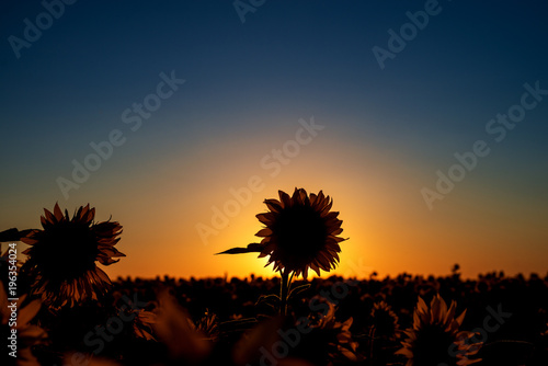 Sunflower silhouette in front of the sun at sunset and sunflowers field in front.