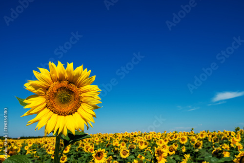 Close up focus view of one sunflower with a field of sunflowers blooming behind on a sunny day.