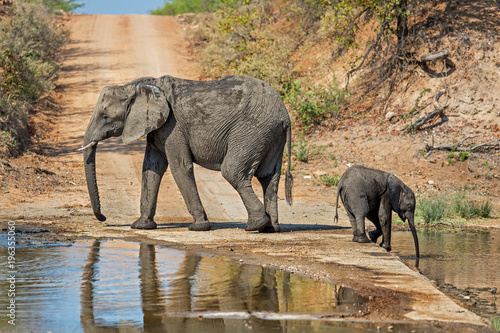 Fototapeta Mother and baby elephant drinking in the Krugerpark in South Africa