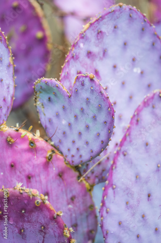 Fotobehang Arizona Tubac Purple Prickly Pear