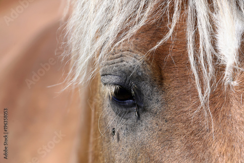 Fotobehang Paarden Haflinger Pferde und Andere, Ebene Piano Grande, Monte Sibillini Nationalpark, Apennin, Marken, Italien, Europa